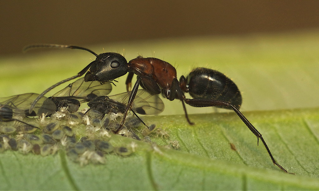 How to Know You Have a Carpenter Ant Infestation in Your Home